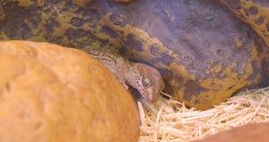 Tir en gros plan du reptile brun étant calme et paisible dans la mini-serre zoologique banque de vidéos