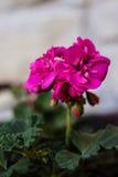 Tir extérieur de fleur rose, backround brouillé Image libre de droits