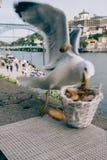 Tir franc de mouette dans le centre ville de Porto, Portugal prenant un panier de pain photos libres de droits