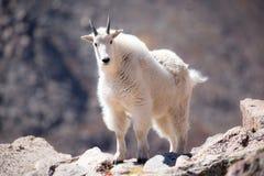 Tir frontal de chèvre de montagne photographie stock libre de droits