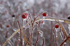 Tir haut étroit des baies solated de cynorrhodon et des branches d'arbre rouges lumineuses couvertes de la glace après une tempêt photographie stock libre de droits