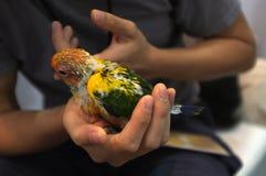 Tir haut ?troit de main humaine tenant de beaux poussins verts de perroquet image libre de droits