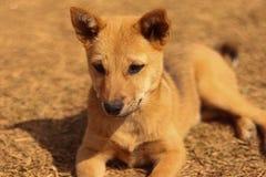 Tir mignon de petit chien chez Daribok Inde images stock