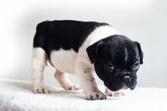 Tir mignon de studio de chien Photographie stock libre de droits