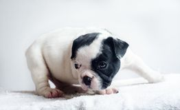 Tir mignon de studio de chien Photo stock