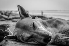 Tir noir et blanc extrême d'un chien Images libres de droits