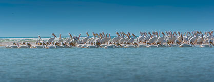 Tir panoramique de colonie de pélican blanc Photos libres de droits