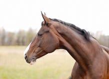 Tir principal d'un beau cheval de baie dans le pré Photos libres de droits
