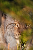Tir principal d'un lynx photo libre de droits