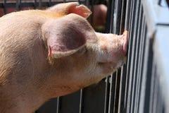 Tir principal d'une jeune truie de porc à la ferme d'animaux rurale Photographie stock libre de droits