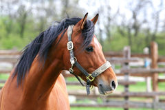 Tir principal de cheval beautyful Photo stock