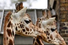 Tir principal de deux girafes Photo libre de droits