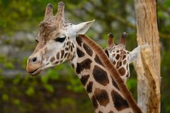 Tir principal de deux girafes Photographie stock