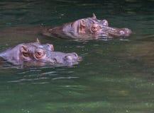 Tir principal de deux hippopotames dans l'eau Photographie stock