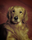 Tir principal de golden retriever Image libre de droits