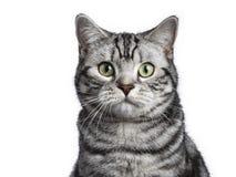 Tir principal de la séance britannique de chat de shorthair d'isolement sur le fond blanc photographie stock