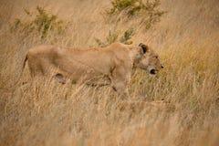 Tir principal latéral des lions image stock