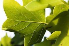 Tir serré du côté de dessous des feuilles vertes Photos libres de droits