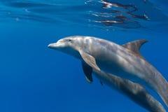 Tir sous-marin de plan rapproché de dauphins sur le bleu images stock
