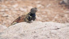 Tir ?troit d'un l?zard de lave sur l'espanola d'isla dans Galapagos banque de vidéos