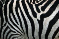 Tira da zebra. A zebra listra a textura do teste padrão Fotografia de Stock Royalty Free