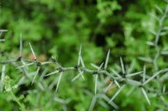 Tira una rama de árbol con muchas espinas cerca para arriba, rodeado con muchas hojas hermosas del verde colorido imagenes de archivo