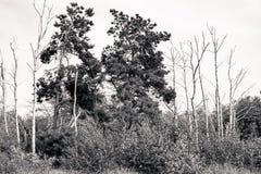 Tirado de abedules y de árboles de pino muertos Foto de archivo libre de regalías