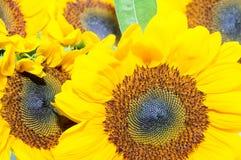 Tirado de cinco girasoles amarillos Imagen de archivo