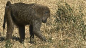 Tirado de un babuino del forraje en masai Mara, Kenia almacen de metraje de vídeo