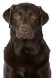 Tirado de un chocolate fuerte Labrador foto de archivo libre de regalías