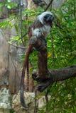 Tirado de un mono joven de la raza de TamarÃn imagen de archivo libre de regalías