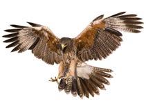 Tiraggio della mano di picchiata di atterraggio del falco e colore della pittura su fondo bianco fotografie stock libere da diritti