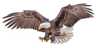 Tiraggio della mano di picchiata di volo dell'aquila calva e colore della pittura su fondo bianco illustrazione vettoriale