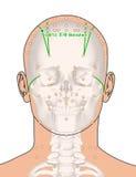 Tirando com esqueleto, ponto GB13 Benshen da acupuntura, 3D Illust Imagem de Stock