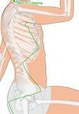 Tirando com esqueleto, ponto GB21 Jianjing da acupuntura, Gall Bla Fotos de Stock Royalty Free