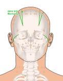 Tirando com esqueleto, ponto GB16 Muchuang da acupuntura, 3D Illus Fotografia de Stock Royalty Free