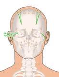 Tirando com esqueleto, ponto GB1 Tongziliao da acupuntura, 3D Illu Imagem de Stock
