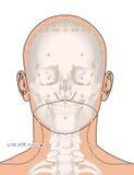 Tirando com esqueleto, ponto LI18 Futu da acupuntura, 3D Illustrat Imagem de Stock