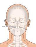 Tirando com esqueleto, ponto LI19 Kouheliao da acupuntura, 3D Illu Imagens de Stock Royalty Free