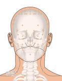Tirando com esqueleto, ponto LI17 Tianding da acupuntura, 3D Illus Fotos de Stock Royalty Free