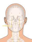 Tirando com esqueleto, ponto ST4 Dicang da acupuntura, 3D Illustra Fotos de Stock