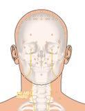 Tirando com esqueleto, ponto ST9 Renying da acupuntura, 3D Illustr Imagens de Stock Royalty Free