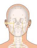 Tirando com esqueleto, ponto ST2 Sibai da acupuntura, 3D Illustrat Imagens de Stock