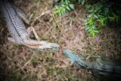 Tirannosauro di vista superiore e giocattolo di allosauro Fotografie Stock Libere da Diritti
