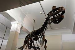 Tiranosaurio esquelético del dinosaurio en el museo del monumento de Auckland Fotos de archivo