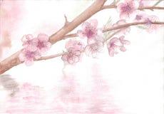 Tirar com ` do ramo de Sakura do ` da aquarela ilustração stock