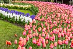 Tiras de la flor de jacinto y tulipanes en el parque en Keukenhof Imagen de archivo libre de regalías