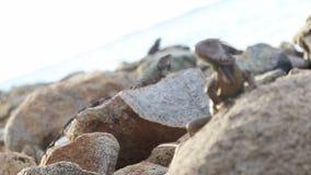 Tirata del fuoco dell'iguana archivi video