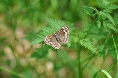 Tircis-Schmetterling Stockbilder