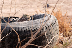 Tire Home. Burrowing Owl living in an old tire Royalty Free Stock Photos